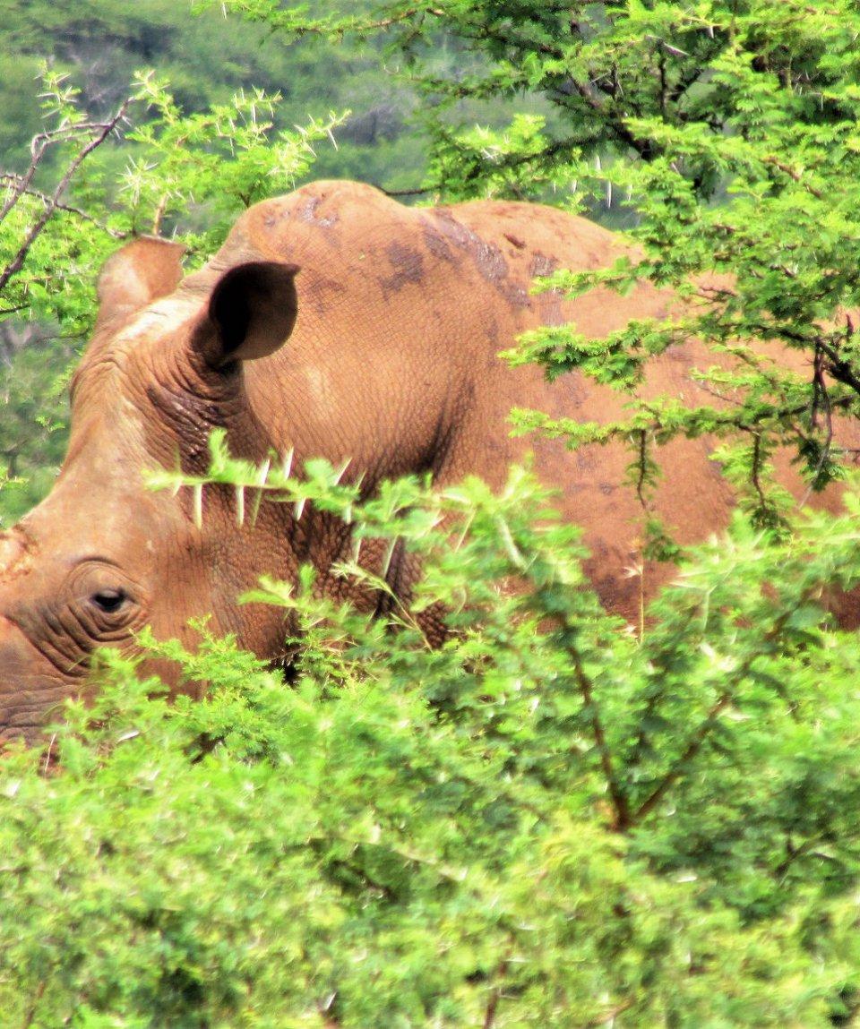 rovos-rail-durban-pretoria-spioenko-reserve-rhino