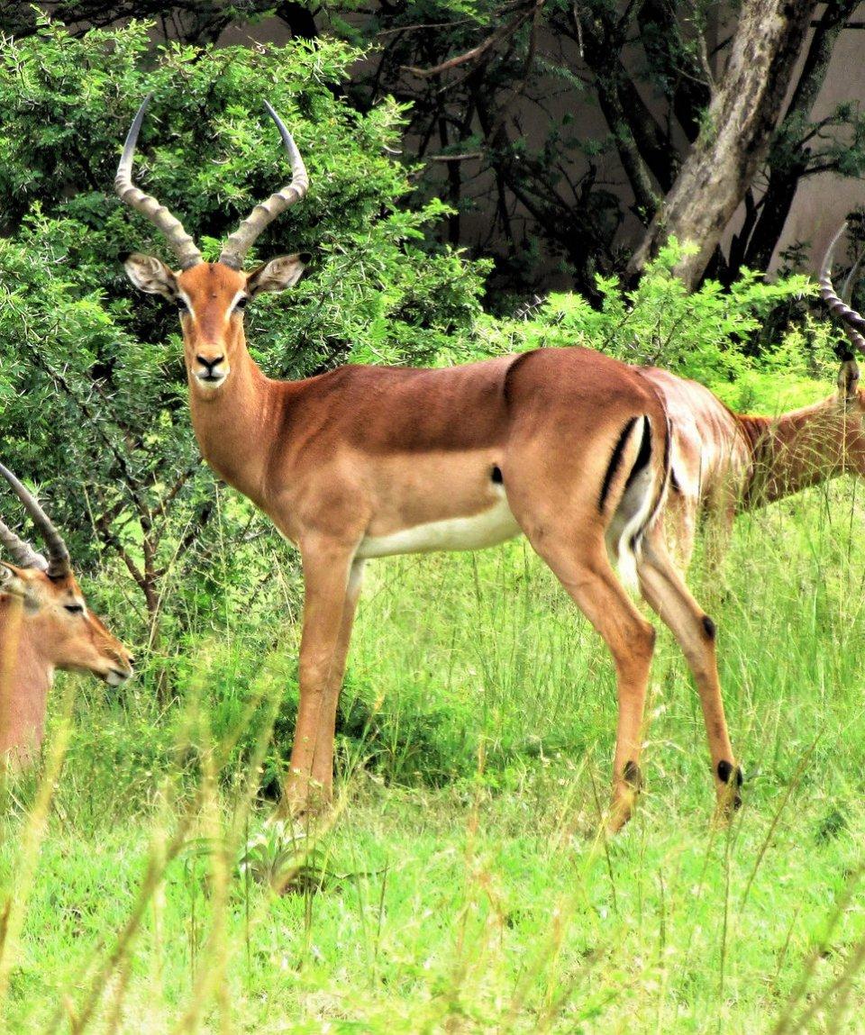 rovos-rail-pretoria-durban-spioenkop-reserve-antilopi